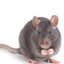 Rat Control pontypridd